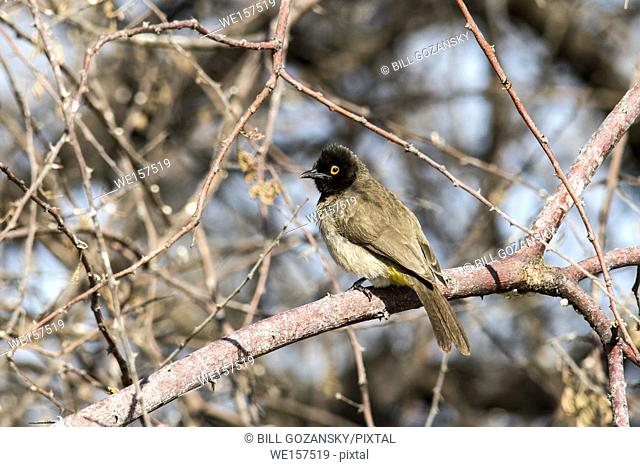 African red-eyed bulbul or black-fronted bulbul (Pycnonotus nigricans) - Onkolo Hide, Onguma Game Reserve, Namibia, Africa