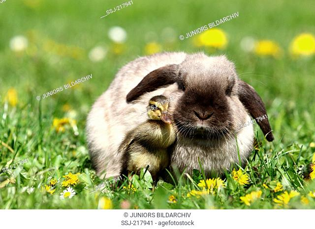 Dwarf Rabbit, Mini Lop and duckling (Indian Runner Duck) on a flowering meadow. Germany