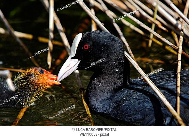 Fulica atra - Coot with its chick - Italy
