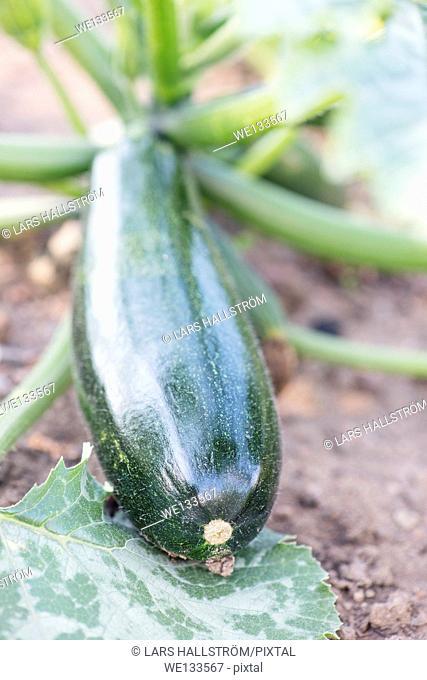 Organic zucchini (Cucurbita pepo) growing in garden