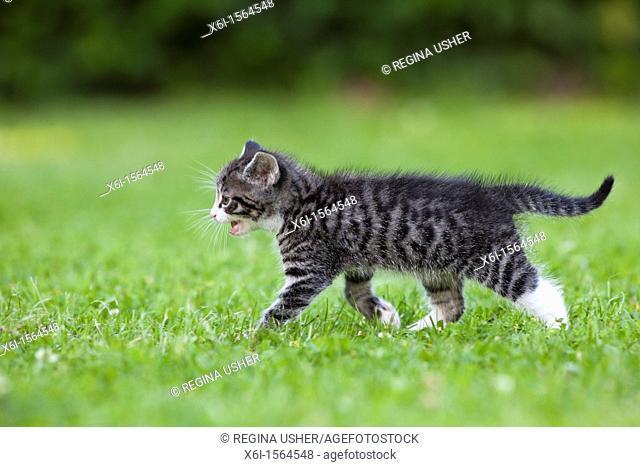 Kitten, walking across garden lawn, Lower Saxony, Germany