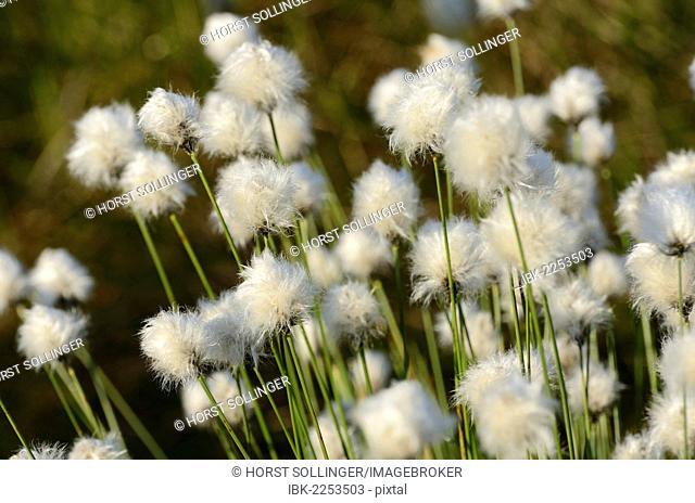 Hare's-tail Cottongrass, Tussock Cottongrass or Sheathed Cottonsedge (Eriophorum vaginatum L.), near Rosenheim, Bavaria, Germany, Europe