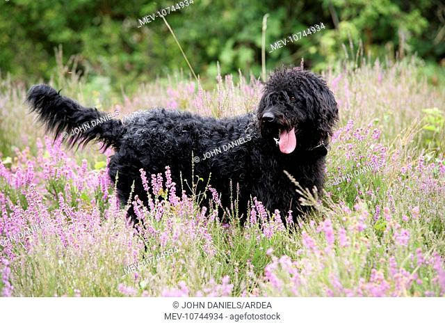 Black labradoodle standing in field