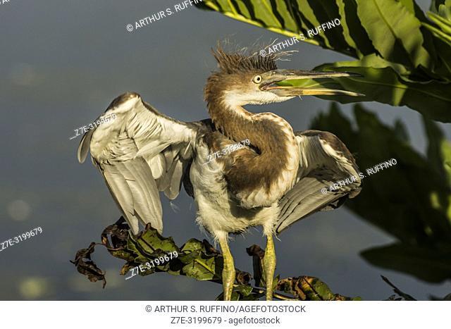 Young reddish egret (Egretta rufescens) expressing anger. Florida. U. S. A
