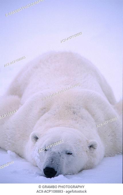 Polar bear, Ursus maritimus, sleeps in snow near Churchill, Manitoba, Canada