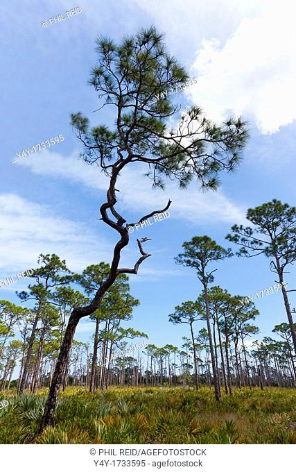 Pine flatwoods in Florida