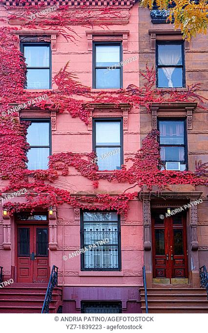 Harlem Brownstone side by side with pink ivy, New York, USA