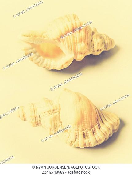 Marine still life fine art on two fragile spiral seashells on pastel toned background in close-up. Natures beauty