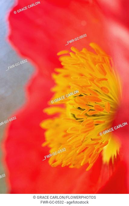 Poppy, Icelandic Poppy, Papaver croceum, Papaver nudicale, Close up of red colour flower growing outdoor showing stamen