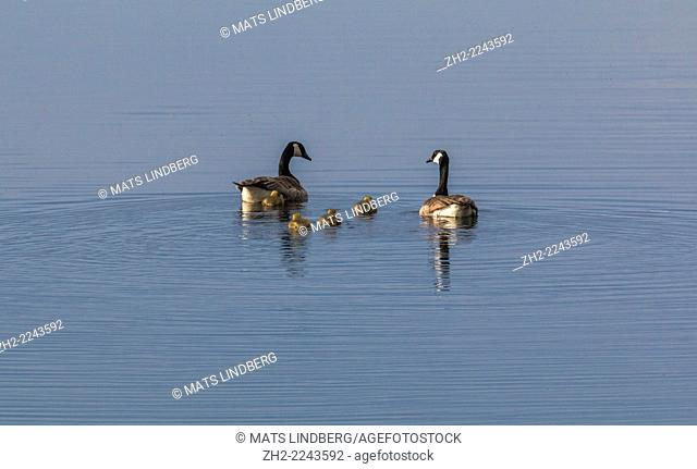 Canada geese, Branta canadensis, with chicks swimming on lake