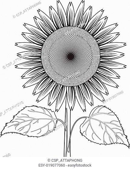 sunflower with leaves out line vec