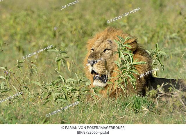 Lion (Panthera leo), male, lying amidst tall grass, Lake Nakuru National Park, near Nakuru, Rift Valley Province, Kenya
