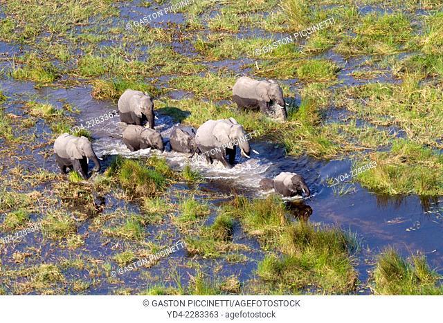 Aerial view of African Elephants (Loxodonta africana), running in the floodplain, Okavango Delta, Botswana. The Okavango Delta is home to a rich array of...