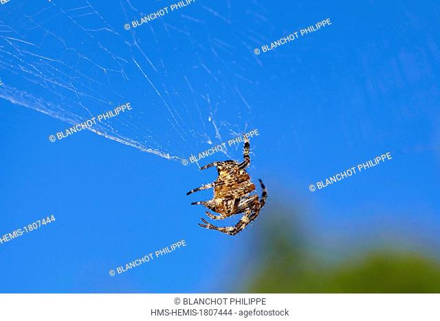 France, Morbihan, Araneae, Araneidae, European garden spider (Araneus diadematus) on its web