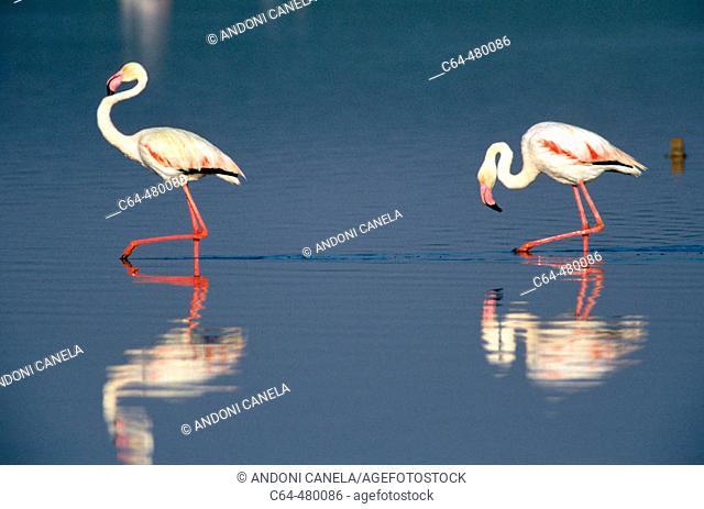 Greater flamingos (Phoenicopterus ruber) courting. Lake Fuentedepiedra. Spain