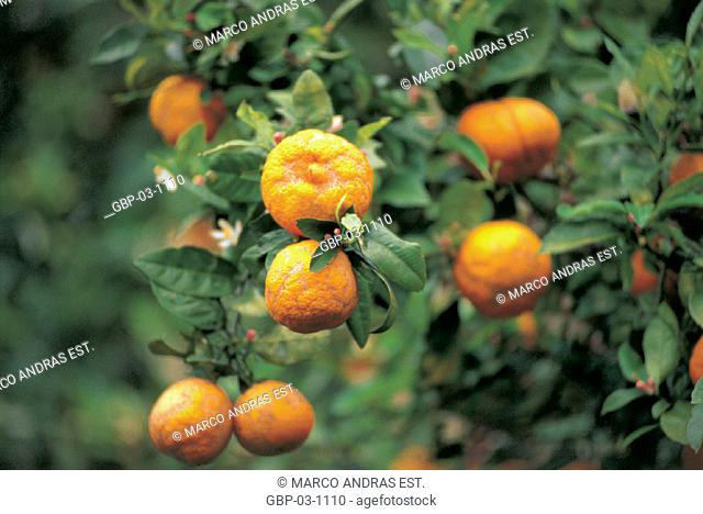 Photo illustrated a plant, tree, fruit, orange, leaves, branches, season, harvest