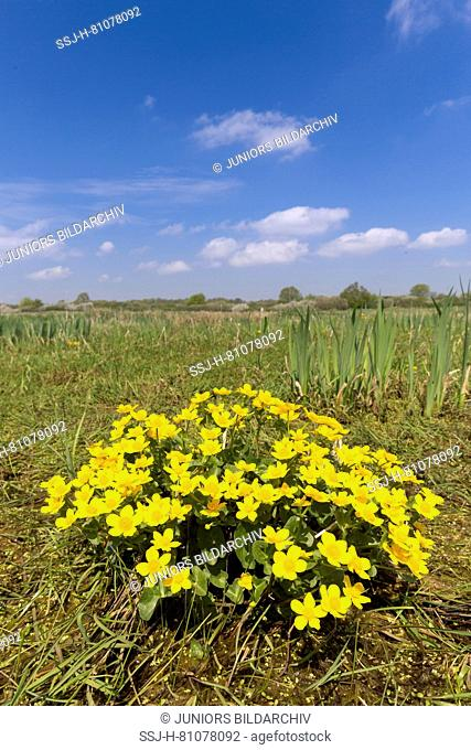 Kingcup, Marsh Marigold (Caltha palustris), flowering. Germany