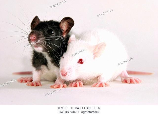 rats (Rattus spec.), two young rats