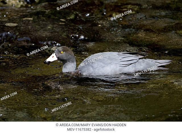 Blue Duck / Whio endemic species restricted to fast flowing mountain streams declining in most places, classified as 'threatened' Courthouse Flat area