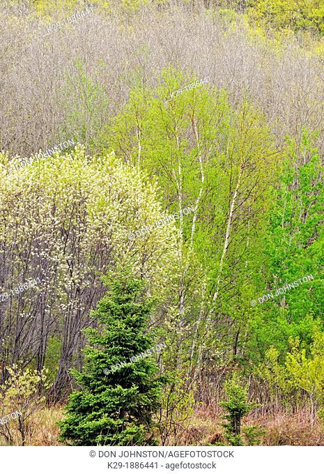 Flowering pincherry, aspen and birch on a hillside in spring, Greater Sudbury Naughton, Ontario, Canada