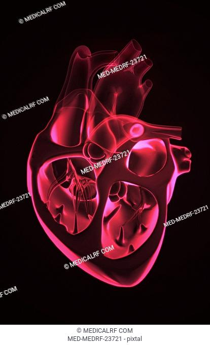 Sectional anatomy of the heart