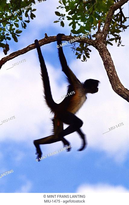 Spider monkey, Ateles geoffroyi, dangling from branch in Belize