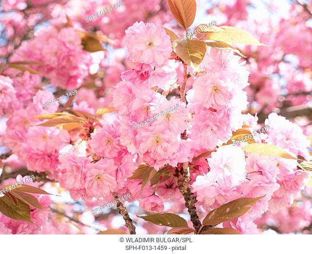 Cherry blossom, close up
