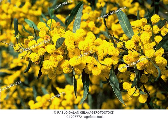 Orange Wattle or Golden Wreath Wattle (Acacia saligna)