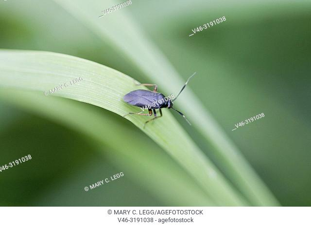 Plant Bug, Capsus ater. Blcak-bodied plant bug with strikihng red legs and white-tipped antennae