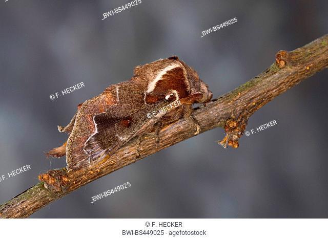 Blueberry Lappet, blueberry lappet moth (Streblote panda, Megasoma repanda), male, Germany