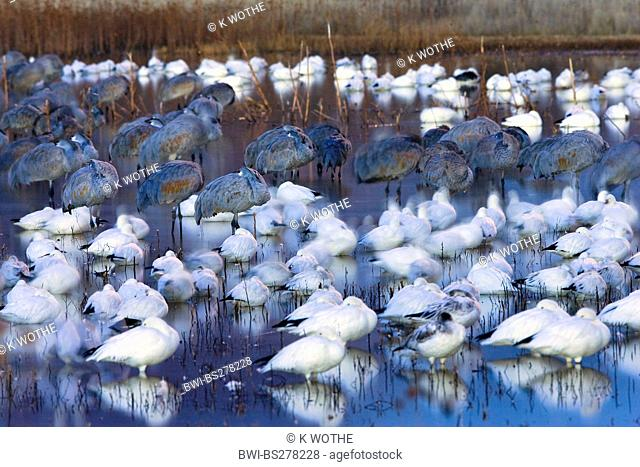 snow goose Anser caerulescens atlanticus, Chen caerulescens atlanticus, Snow Geese and Sandhill Cranes in Wildlife Refuge in the morning, USA, New Mexico