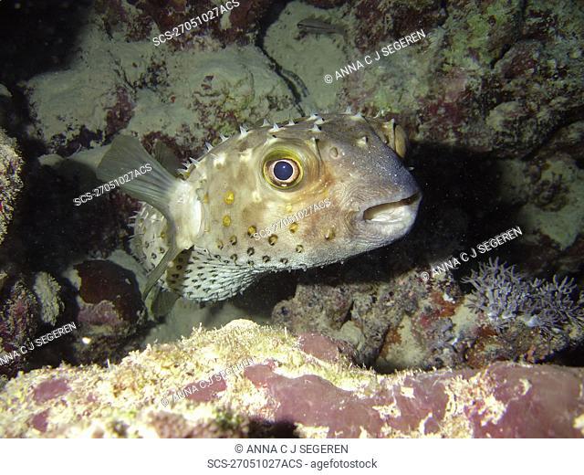 Porcupinefish Diodon hystrix Na'ama Bay, Sharm El Sheikh, South Sinai, Red Sea, Egypt