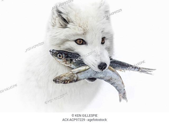 Arctic fox, Vulpes lagopus, with fish in mouth, Assiniboine Park Zoo, Winnipeg, Manitoba, Canada