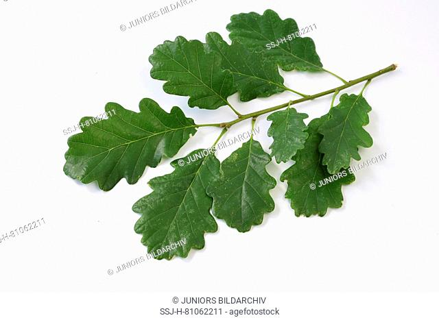 Durmast Oak, Sessile Oak (Quercus petraea), twig with leaves, Studio, cut out