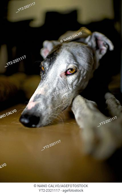 Interior portrait of adult Spanish Greyhound