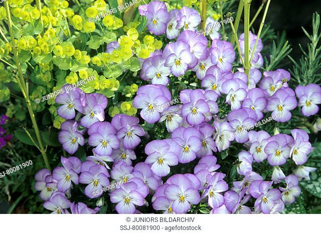 DEU, 2005: # Horned Pansy, Horned Violet (Viola cornuta), flowering