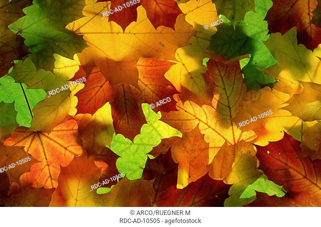 Autumn leaves of Norway Maple, Acer platanoides