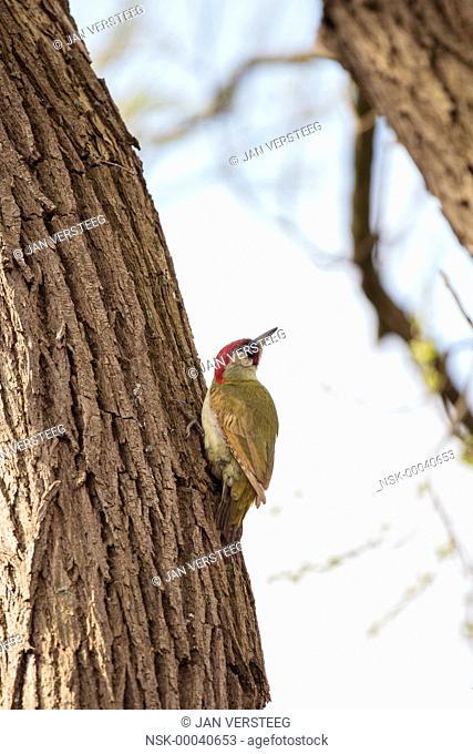 Green Woodpecker (Picus viridis) perched on a tree trunk, Belgium, Vlaanderen