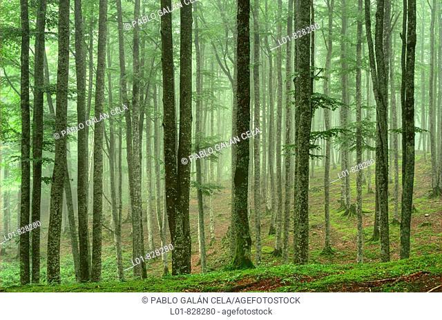 Beechwood, Sierra de Aralar Natural Park, Navarre, Spain