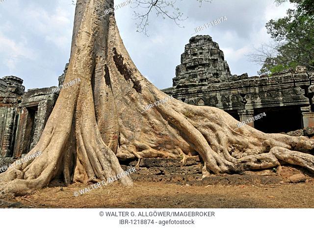 Fig tree (Ficus), Banteay Kdei temple complex, Angkor, Cambodia, Asia