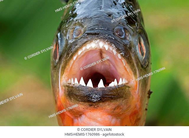 Brazil, Amazonas State, Manaus, Amazon river basin, along Rio Negro, Red-bellied piranha or red piranha (Pygocentrus nattereri)