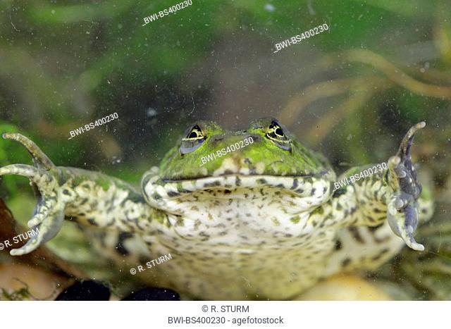 European edible frog, common edible frog (Rana kl. esculenta, Rana esculenta, Pelophylax esculentus), resting on the ground of a pond, Germany, Bavaria