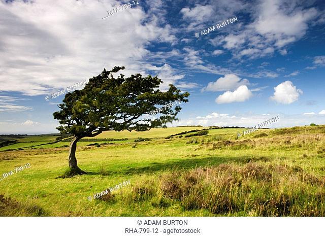 Windswept tree on moorland in Exmoor National Park, Somerset, England, United Kingdom, Europe