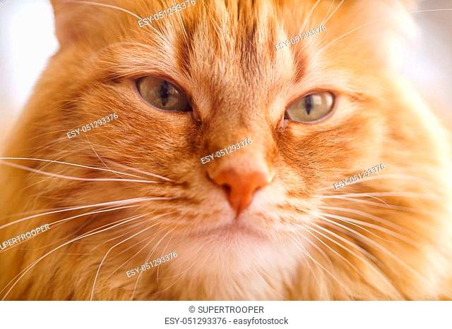 Close up Photo of Red Fluffy Tabby Male Cat with Green Eyes