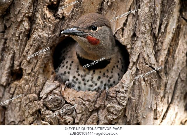 Northern Flicker, Colaptes auratus, fledged chick with catchlight in eye about to leave nest in old gnarled Elm tree for the first time