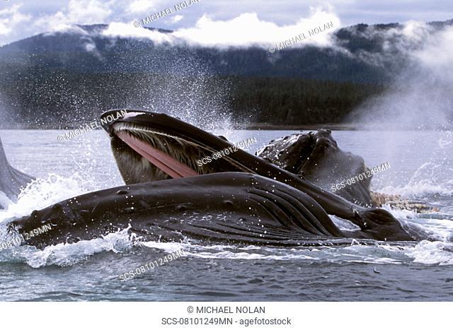 Adult Humpback Whales Megaptera novaeangliae cooperatively 'bubble-net' feeding in Chatham Strait, Southeast Alaska, USA