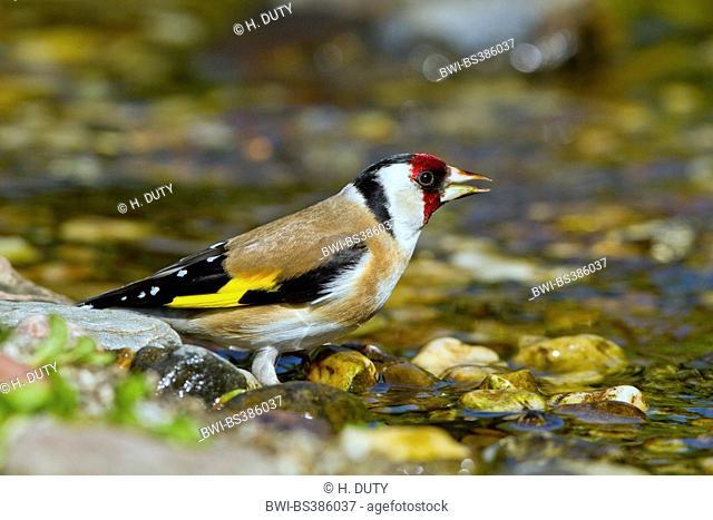 Eurasian goldfinch (Carduelis carduelis), drinking Eurasian goldfinch, Germany, Mecklenburg-Western Pomerania