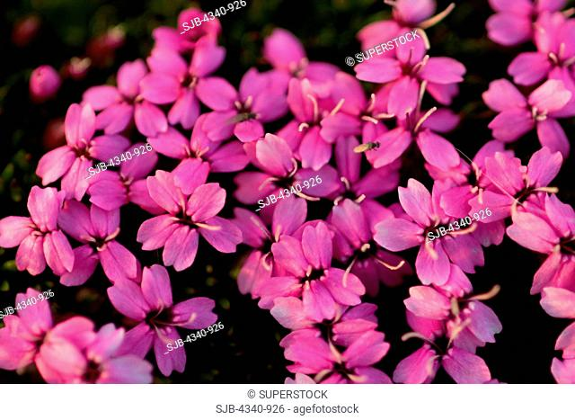 Colorfully Blooming Moss Campion