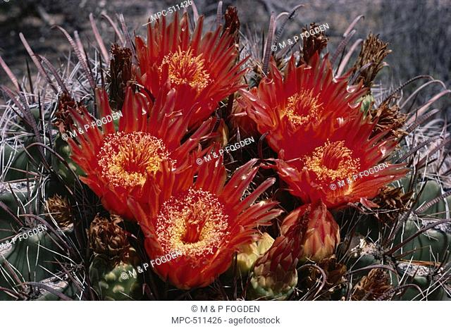 Barrel Cactus Ferocactus wislizenii, flowering in the Sonoran Desert, USA