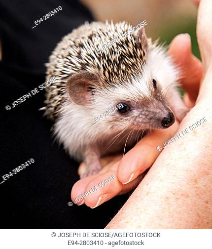 A Woman holding and playing with pet hedgehog